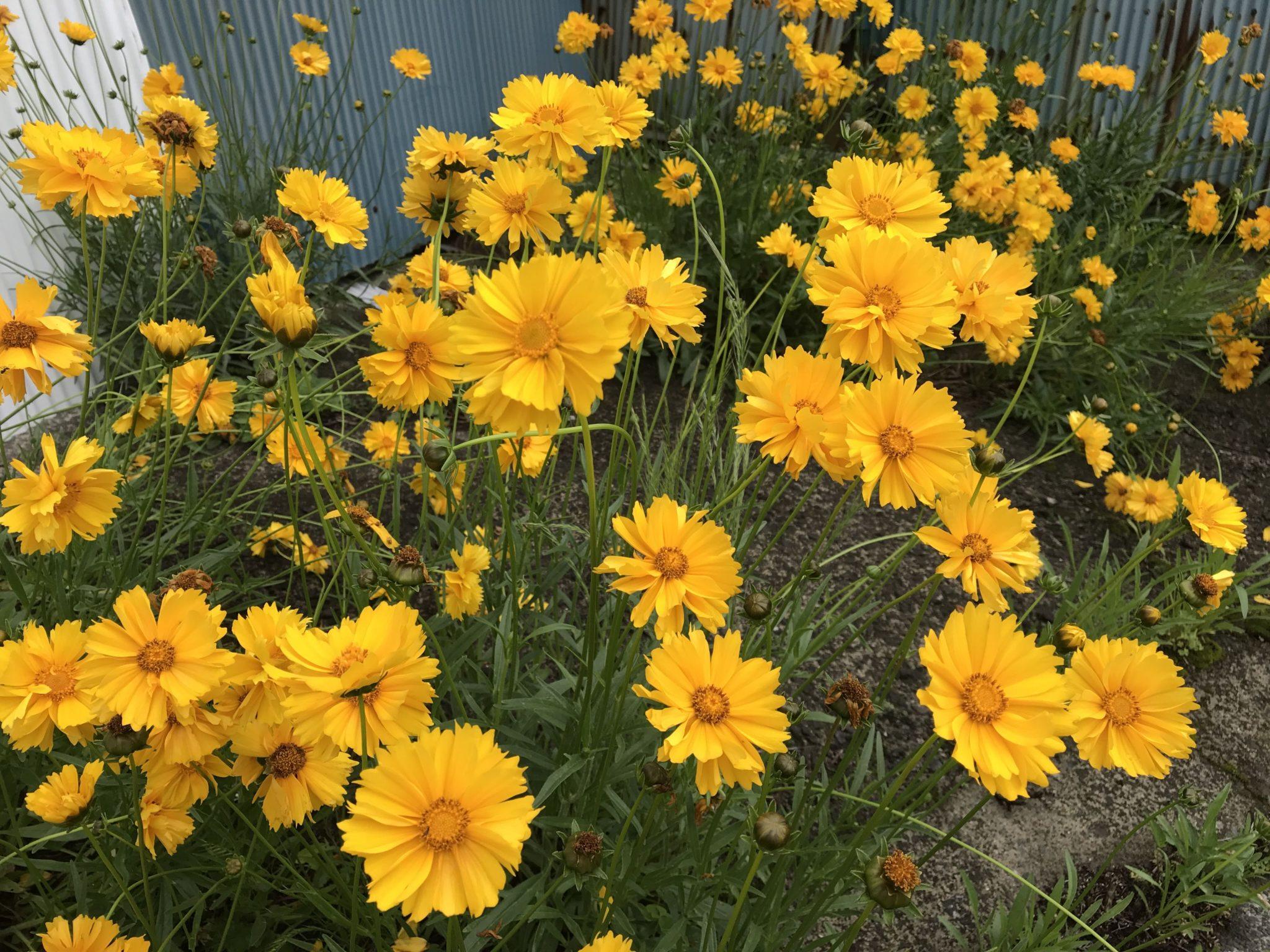 外来種のオオキンケイギクがきれいに咲いています。 罰則、罰金あるのかな?